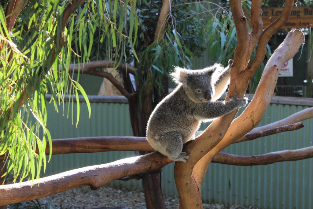 koala on brown tree