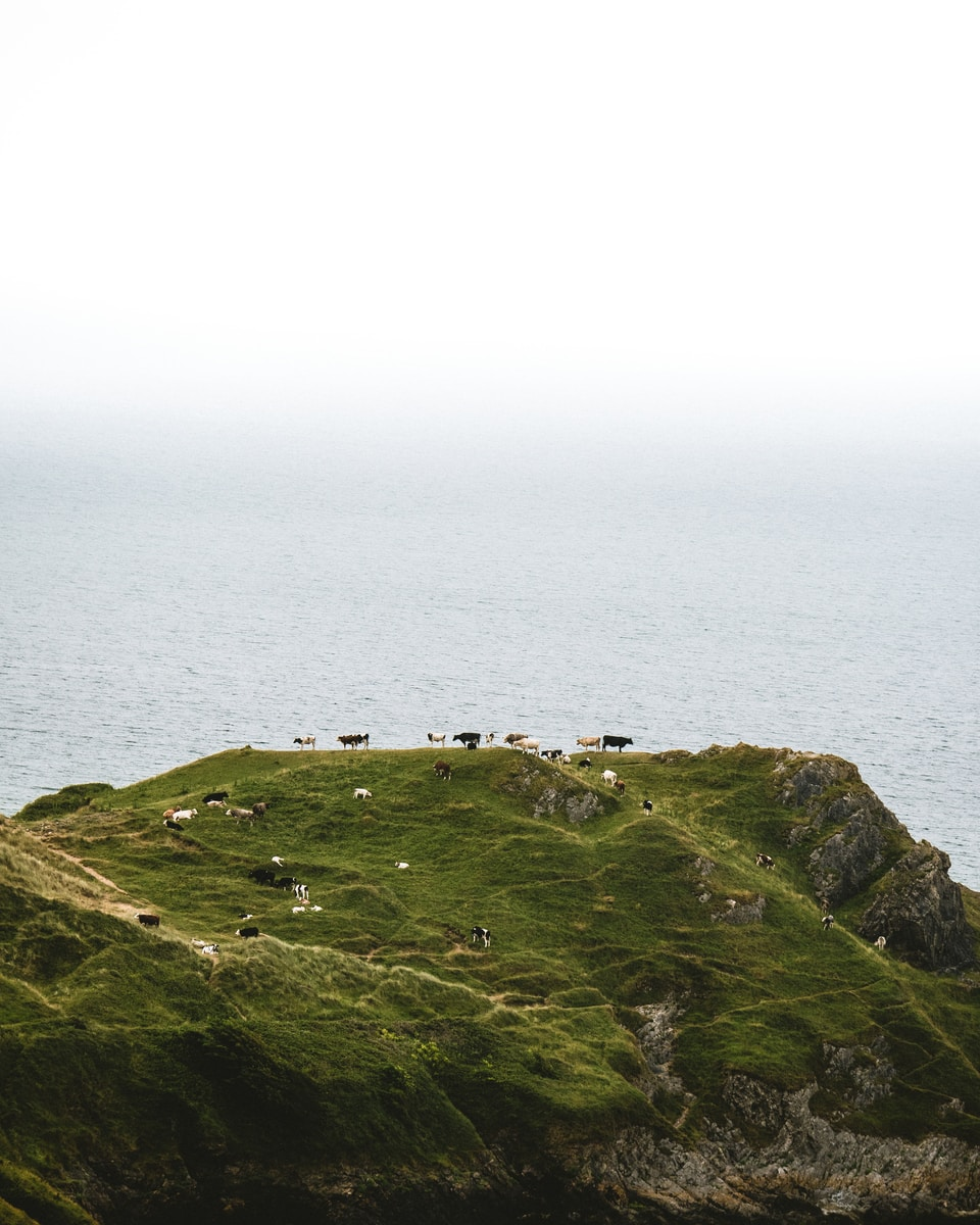 herd of cattle on top of mountain near body of water